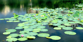 Prosperity of the lush lotus leaf. Landscape, green plant, the lotus pond lotus, lotus leaf growing exuberant, afforest environment, natural ecology Royalty Free Stock Photo