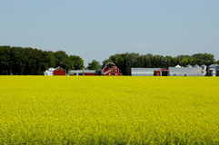 Prosperous Farm. A wealthy farm with red barns and yellow fields Stock Images