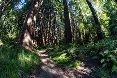Prosperuje Redwood las w Północnym Kalifornia Obrazy Royalty Free