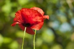 Prospettiva attraente di una foto di un primo piano rosso del papavero Immagine Stock