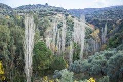 Prospettiva sparata dell'albero di pioppo sulla valle immagine stock