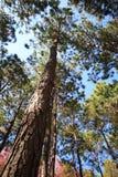 Prospettiva verticale del pino immagine stock libera da diritti