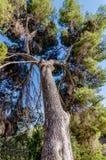 Prospettiva verticale di un pino alto di Gerusalemme, Rosh Pina, Israele immagine stock