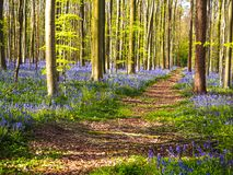 Prosta ścieżka prowadzi przez wibrującego błękitnego i purpurowego dywanu obraz royalty free