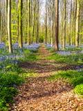 Prosta ścieżka prowadzi przez wibrującego błękitnego i purpurowego dywanu zdjęcie royalty free