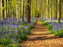 Prosta ścieżka prowadzi przez wibrującego błękitnego i purpurowego dywanu fotografia royalty free