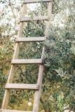 Prosta drewniana drabina w drzewie oliwnym dojrzałe oliwki fotografia stock