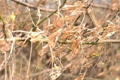 Prosta fotografia akacja rozgałęzia się w wietrznej jesieni zdjęcie stock