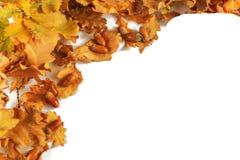 Prosta rama jesień dąb opuszcza na białym tle i acorns isolate obrazy royalty free