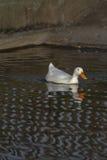 Prosta rzeczna przyroda Estetyczny wizerunek biała kaczka na patterne Zdjęcie Royalty Free