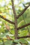 Prostacki młody drzewo zdjęcie royalty free