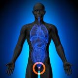 Prostata - manlig anatomi av mänskliga organ - röntgenstrålesikt stock illustrationer