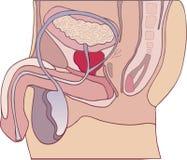 Prostate gland. Illustration of prostate gland section diagram Royalty Free Stock Photo