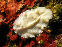 Prostheceraeusvittatus - suikergoed gestreepte flatworm Royalty-vrije Stock Foto's