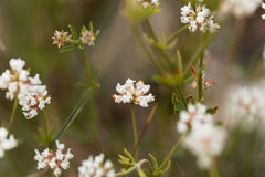 Prostrate Canary clover Dorycnium pentaphyllum Stock Image