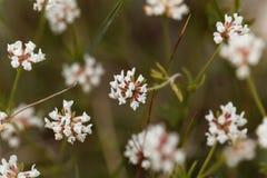 Prostrate Canary clover Dorycnium pentaphyllum Stock Photography