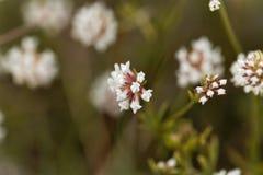 Prostrate Canary clover Dorycnium pentaphyllum Stock Photo