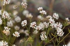 Prostrate Canary clover Dorycnium pentaphyllum Royalty Free Stock Photography