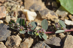 Prostrate Spurge Royalty Free Stock Photography
