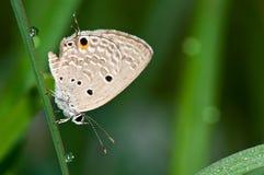 Prosty amorka motyl Obrazy Stock