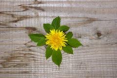 Prosty projekt, żółta dandelion kwiatu malinka pojęcie ekologia obraz royalty free