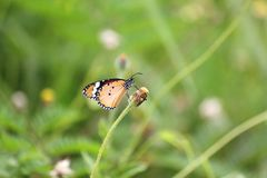 Prosty Tygrysi Danaus chrysippus chrysippus Linnaeus motyl zdjęcie stock