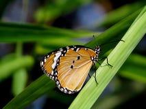 Prosty tygrysi motyl Obrazy Royalty Free