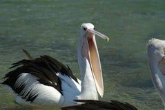 proszałny karmowy pelikan Zdjęcie Stock