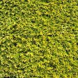 Protégez le mur semblable de fond de texture d'herbe de feuilles vertes Photo libre de droits