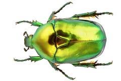 Protaetia Aeruginosa. Flower beetle isolated on white background Stock Image