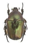 Protaetia angustata Stock Image