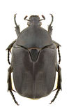 Protaetia opaca Stock Images