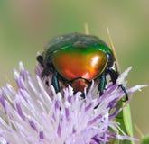 Protaetia (Potosia) cuprea ignicollis Stock Photos