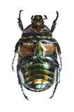 Protaetia (Potosia) cuprea ignicollis (underside) Royalty Free Stock Images