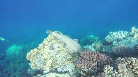 Protagonice los pescados del fumador, de la costa de Safaga, Egipto, Mar Rojo almacen de metraje de vídeo