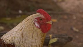 Protagonizar el pollo, Conakry, Guinea almacen de video