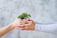 Proteção ambiental fêmea masculina do vaso de flores das mãos fotografia de stock