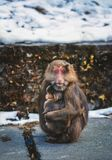 Proteção selvagem da mãe e da criança do macaco do macaco animal fotos de stock