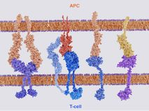 Proteínas de la membrana implicadas en la activación y la inhibición de stock de ilustración