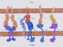 Proteínas de la membrana implicadas en la activación y la inhibición de ilustración del vector