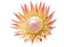 protea короля Стоковая Фотография RF