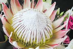 Protea крупного плана в букете Стоковые Фото