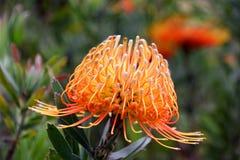 protea цветка Стоковая Фотография RF