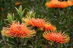 protea цветка Стоковое Изображение