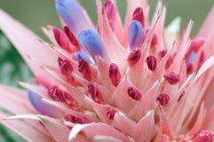 protea цветка Стоковая Фотография