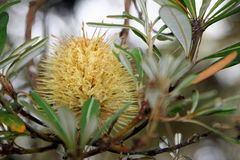 protea цветка banksia Стоковое Изображение RF