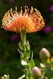 protea штыря валика Стоковая Фотография