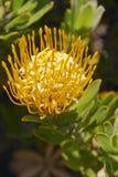 protea 2 leucadendrons tolplant Стоковые Изображения