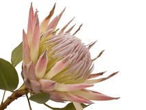 Protea. One flower of Protea. Isolated on white background Stock Photos