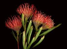 Protea. Bright orange protea flowers on black stock photography